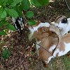 Central Mass Goat Rental in Lunenburg has goats they rent out to people that need vegetation taken care of in their yards. Some of the goats at work on at a Lunenburg home on Saturday morning. SENTINEL & ENTERPRISE/JOHN LOVE