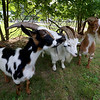 Central Mass Goat Rental in Lunenburg has goats they rent out to people that need vegetation taken care of in their yards. SENTINEL & ENTERPRISE/JOHN LOVE