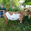 Central Mass Goat Rental in Lunenburg has goats they rent out to people that need vegetation taken care of in their yards. Owner Dan Ahlman watches one of his goats at work on at a Lunenburg home on Saturday morning. SENTINEL & ENTERPRISE/JOHN LOVE