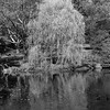 Willow on the Bank _ bw