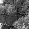 Willow on the Bank III _ bw