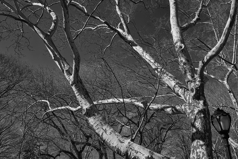 Tree and bark - Spring in Central Park