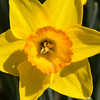Conservatory Garden - Yellow Petals