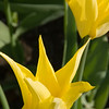 Conservatory Garden - Crown Yellow