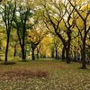 Fall in Central Park - Bright Yellow