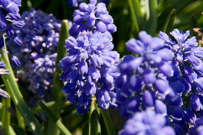 Conservatory Garden - Dark Blue Puffy Flowers