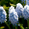 Puffy Blue Flowers - Conservatory Garden