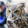 Owl. Falcon release event. Central Park, NY.