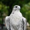 Peregrine Falcon. Falcon release event. Central Park, NY.