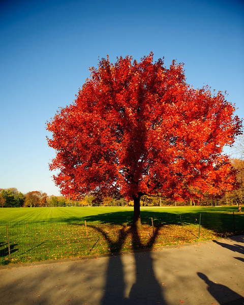 Red Maple on the south side of Great Lawn. Central Park