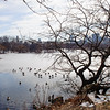 Geese on The Lake. Central Park, New York