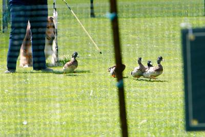 Ducks-0507