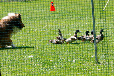 Ducks-0508