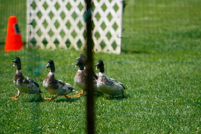 Ducks-0490