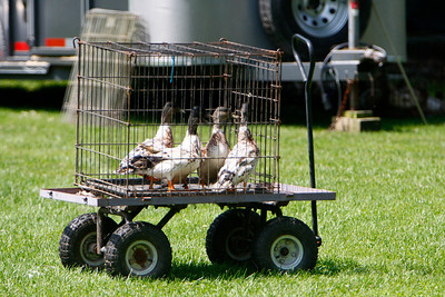 Ducks-0494