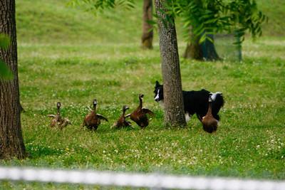 Ducks-0445