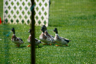 Ducks-0489