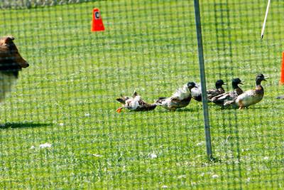 Ducks-0509