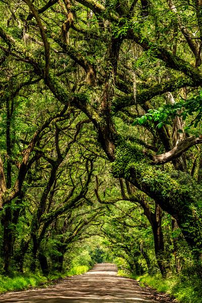 Tree Canopy #3 - Near Botany Bay Plantation Heritage Preserve and Managment Area, Edisto Island, SC