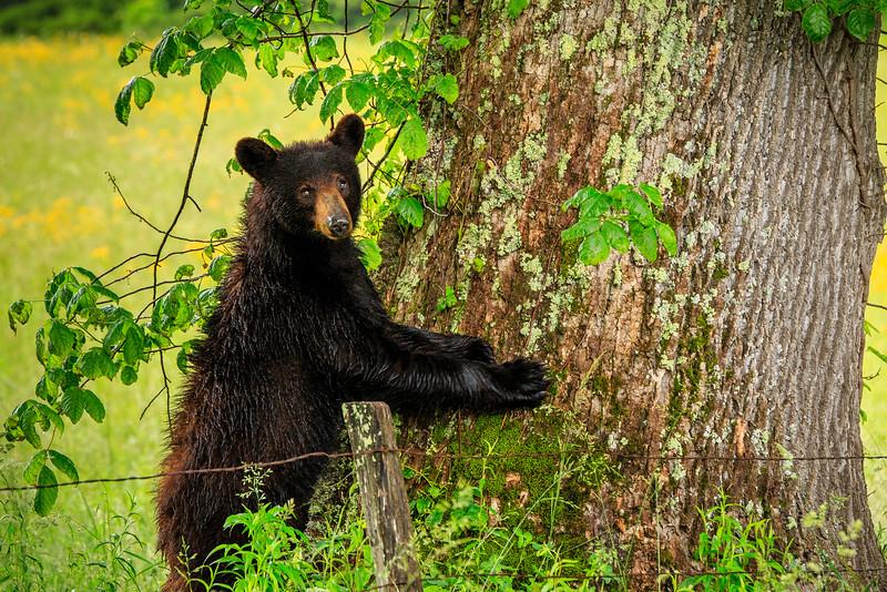 Smoky Mtn. Black Bear  - Smoky Mountain National Park, TN