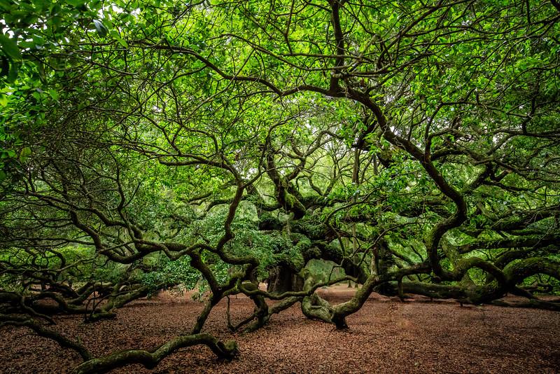 Angel Oak #2- Johns Island, SC