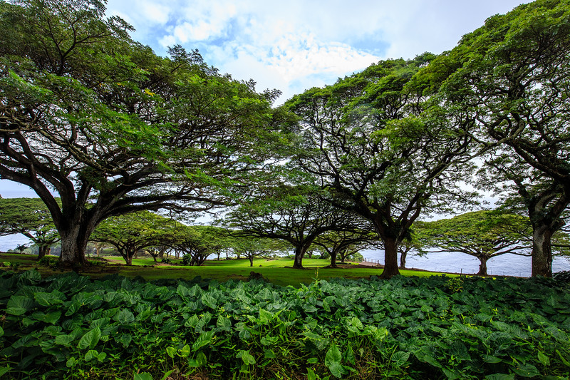Monkeypod Tree #1  - East Maui