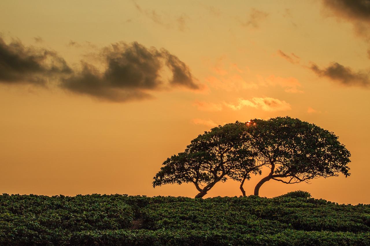 Tree -  Lihu'e, Kauai