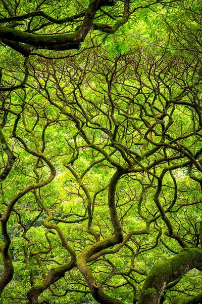 Monkeypod Trees #3 - Waimea Botanical Garden, Oahu