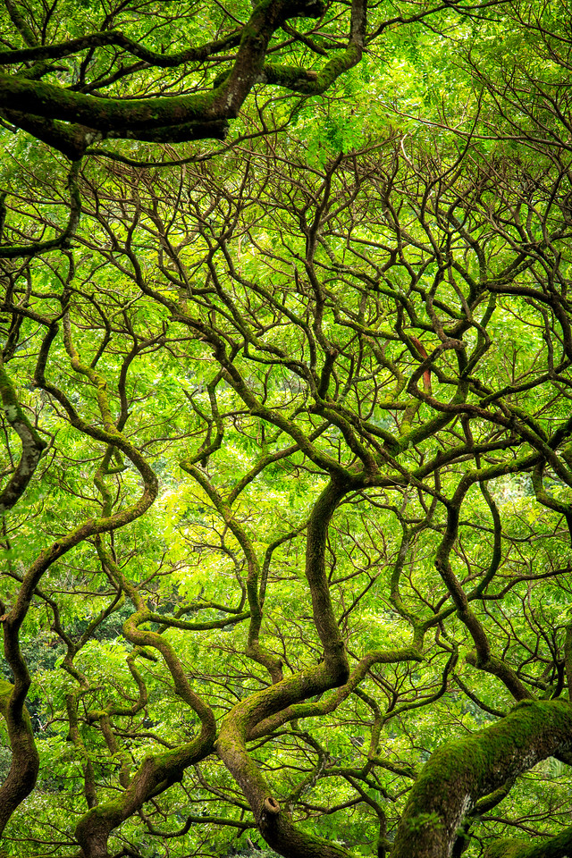 Monkeypod Trees #3 - Waimea Botanical Garden, Oahu