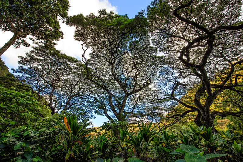 Monkeypod Trees #2 - Waimea Botanical Garden, Oahu