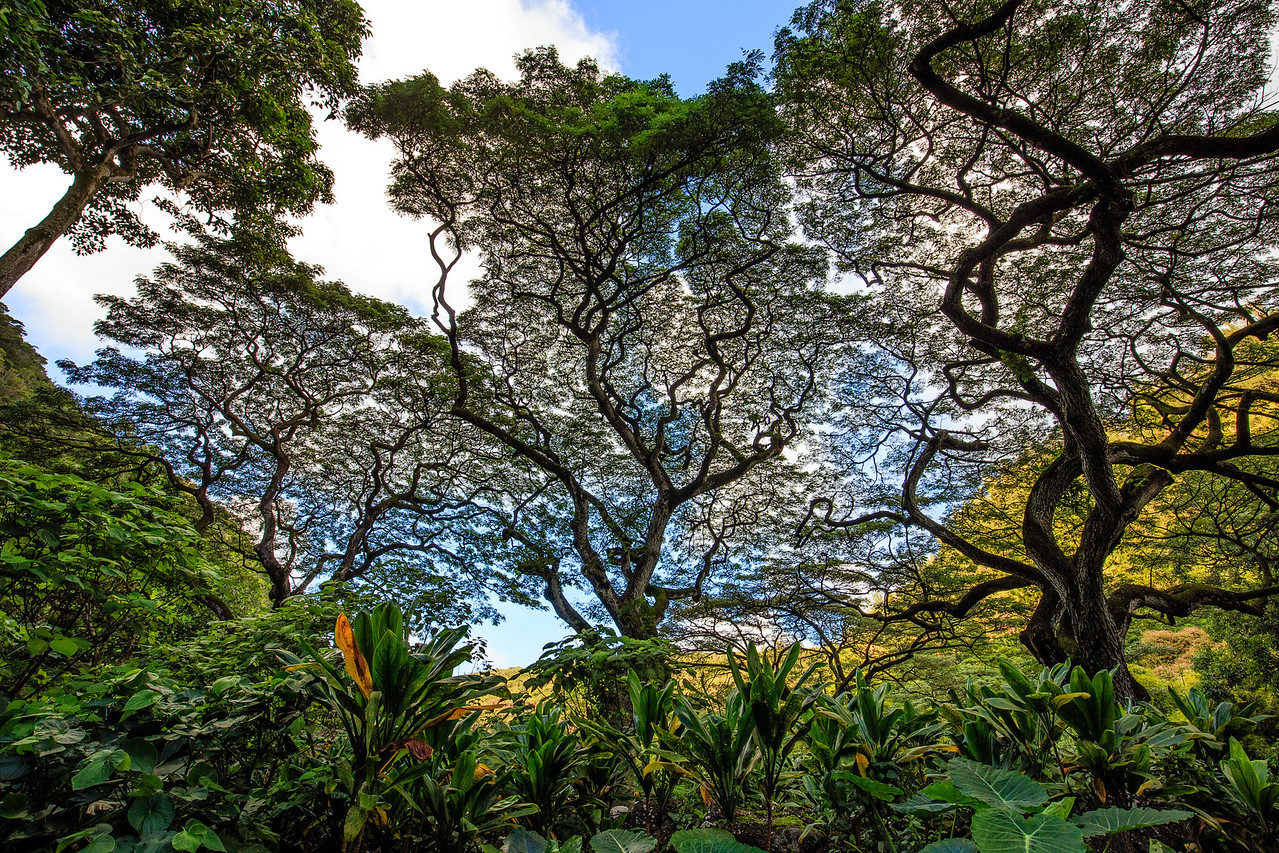 Monkeypod Trees #2 - Waimea Botanical Garden, Oahu
