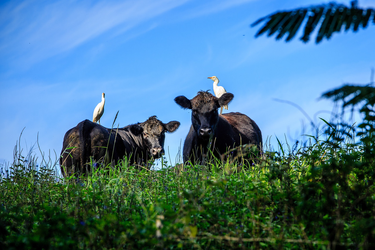 Cows and Birds – Kauai