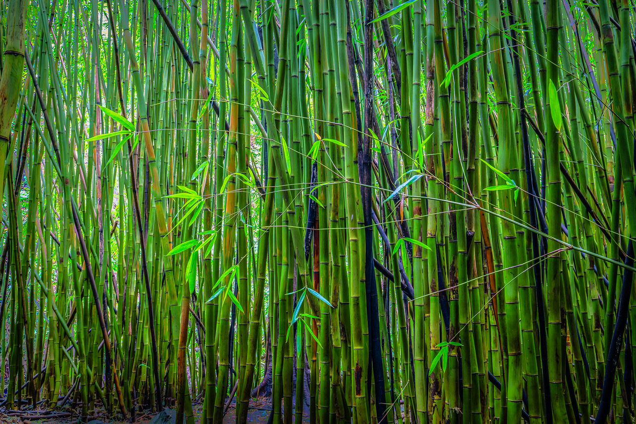 Bamboo Forest #3 on Pipiwai Trail - Maui