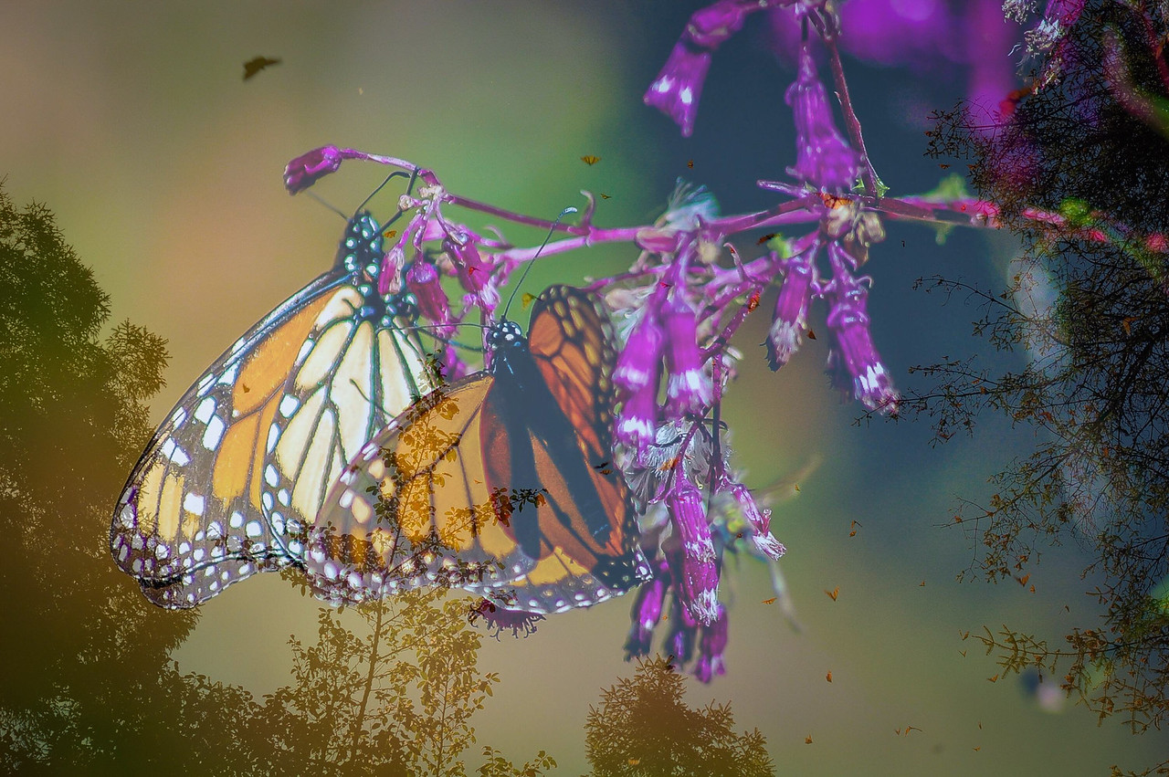 Monarchs - Michoacan, Mexico (60 miles West of Mexico City)