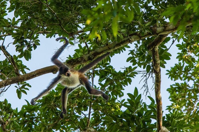 Spider Monkey #2– Tekal National Park, Flores, Guatemala