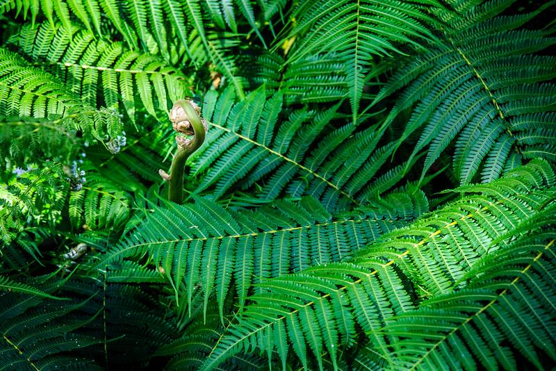 Ferns #1 - El Yunque National Forest, Puerto Rico
