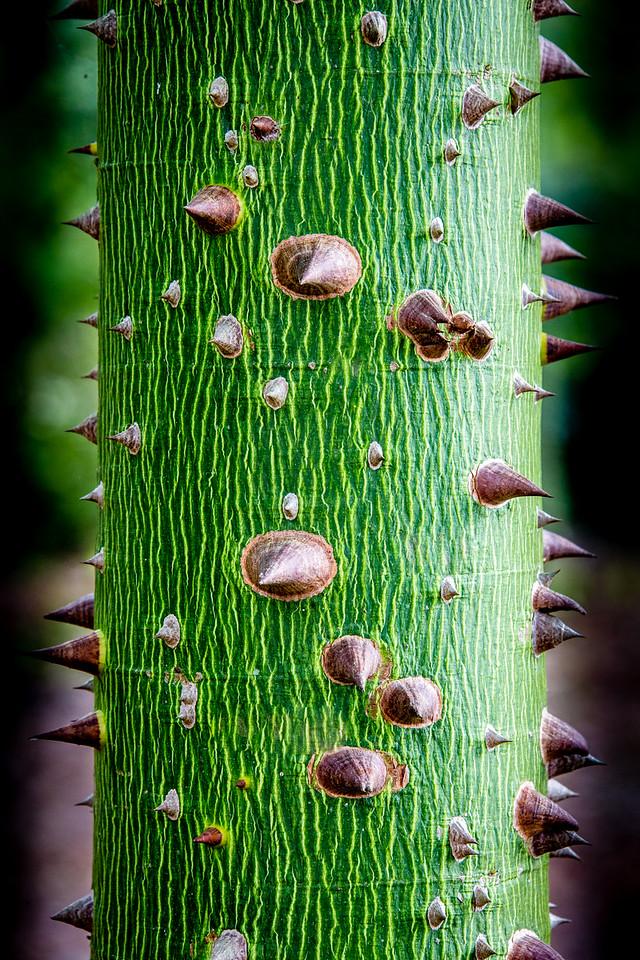 Ceiba  - Sacred Mayan Tree