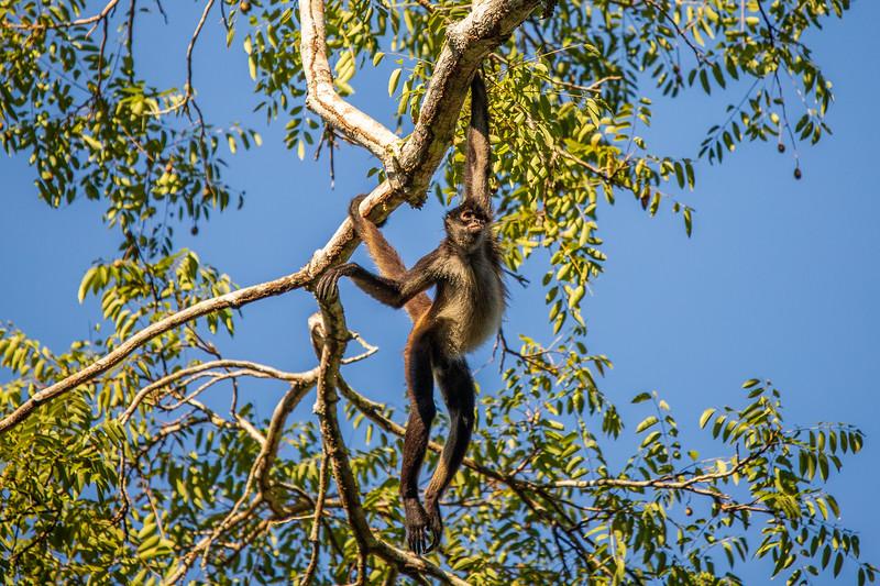 Spider Monkey #3 – Tekal National Park, Flores, Guatemala