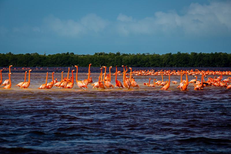 Flamingos - Celestun, Mexico