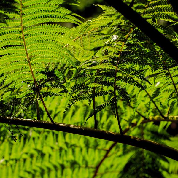 Ferns #2 - El Yunque National Forest, Puerto Rico