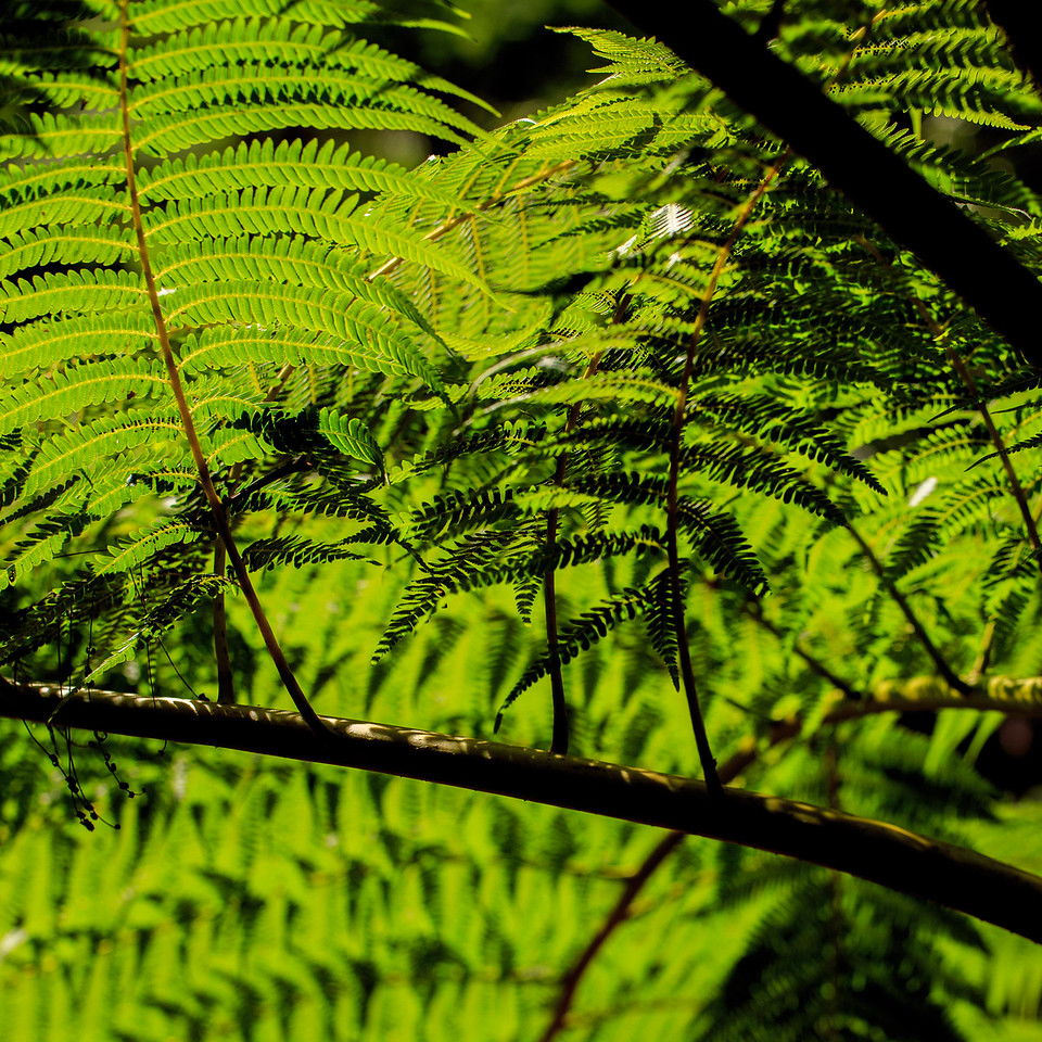 Ferns #2 - El Yunque National Forest, Puerto Rico