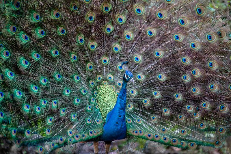 Peacock - Ardastra Gardens, Zoo & Convention Center, New  Providence, Bahamas