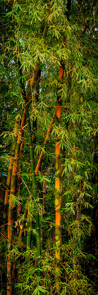 Bamboo #1 (Pano) - El Yunque National Forest, Puerto Rico
