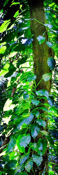 Ivy (Pano) - El Yunque National Forest, Puerto Rico
