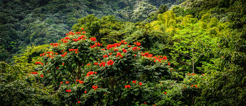 Jungle Canopy (Pano) - El Yunque National Forest, Puerto Rico