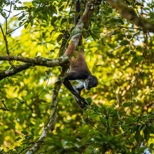 Spider Monkey #1 (Square) – Tekal National Park, Flores, Guatemala