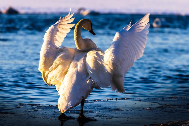 Trumpeter Swans #3– Vadnais Lake, Vadnais Heights, MN