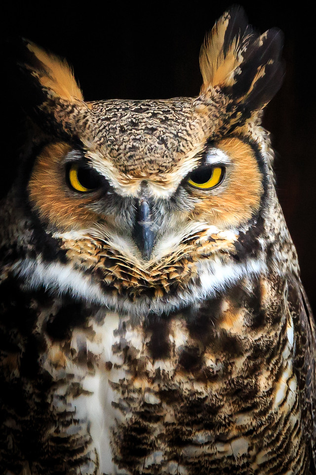 Great Horned Owl - Gabbert Raptor Center, St. Paul, MN