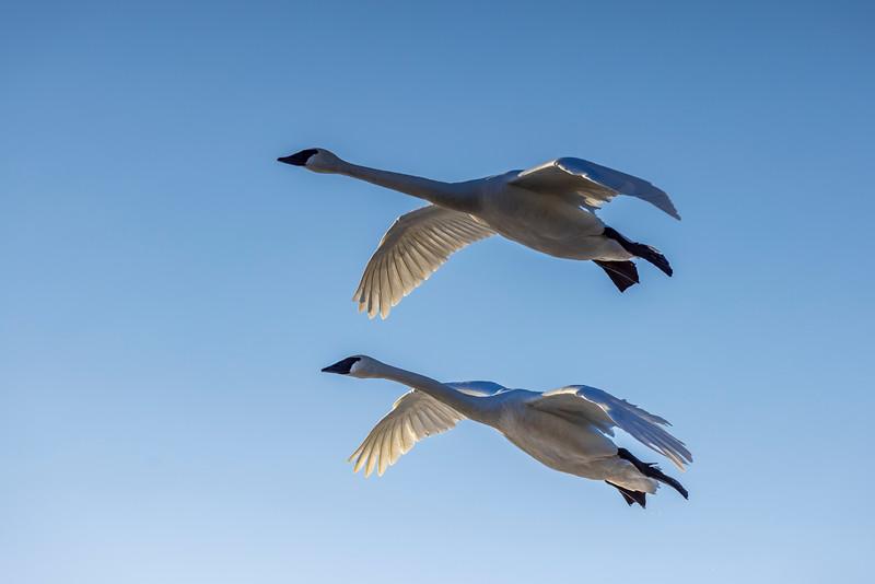 Trumpeter Swans #6 – Vadnais Lake, Vadnais Heights, MN