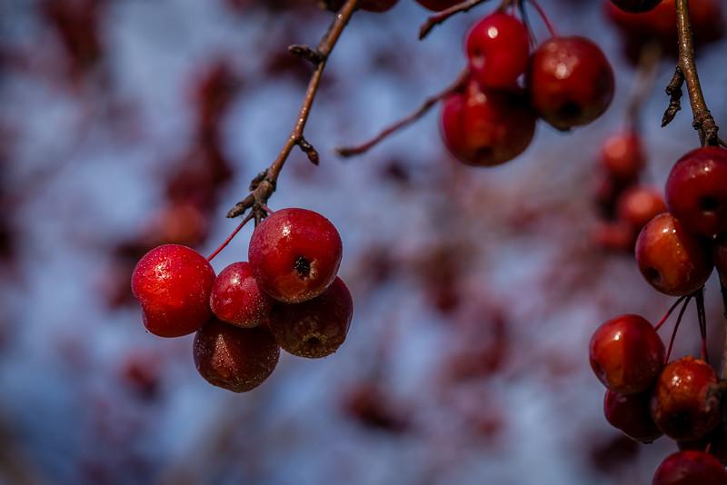 Winter Berries - Minneapolis, MN